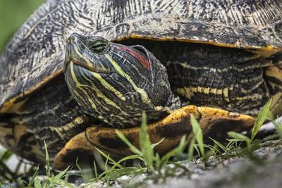 A Red-eared Slider, Trachemys scripta elegans, on the move.
