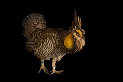 A greater prairie chicken 'booming' at the Sutton Prairie Chicken Ranch.