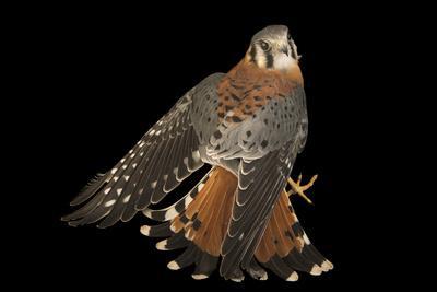 An American kestrel, Falco sparverius paulus, at the Marathon Wild Bird Center.