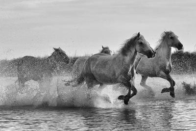 Camargue horses gallop through water.