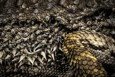 Skin of an Eastern bearded dragon, Pogona barbata.