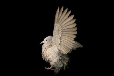 A green imperial pigeon, Ducula aenea, at Kamla Nehru Zoological Garden.