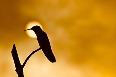 Silhouette of a hummingbird perched on a branch with the sun on the background.