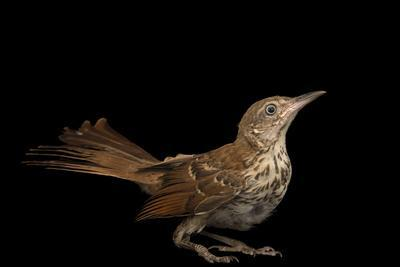A brown thrasher, Toxostoma rufum, at the WildCare Foundation.