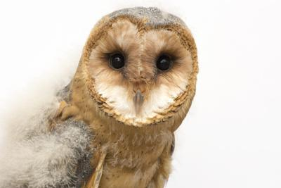 A fledgling European barn owl, Tyto alba guttata, from the Plzen Zoo.