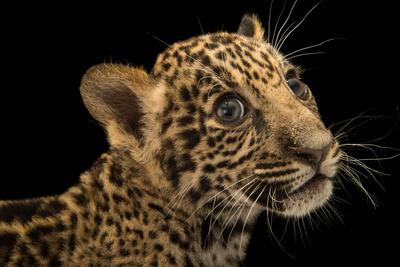 A two month old jaguar cub at the Parque Zoologico Nacional in Dominican Republic.