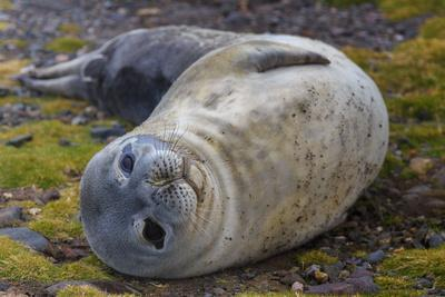 A Weddell seal pup, Leptonychotes weddellii.