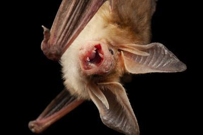 Pallid bat, Antrozous pallidus, at the North Carolina Zoo.