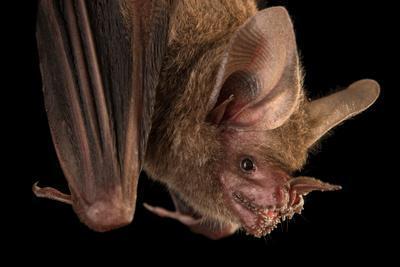 A female fringe lipped bat, Trachops cirrhosus, from the wild in Gamboa, Panama.