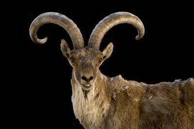 A Spanish ibex, Capra pyrenaica, at the Madrid Zoo.