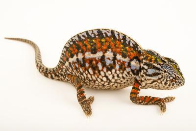 A female carpet chameleon, Furcifer lateralis, from a private collection.