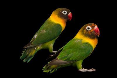 Yellow collared lovebirds, Agapornis personatus, at Piscilago Zoo.