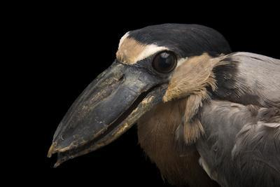 A boat billed heron, Cochlearius cochlearius ridgwayi, at the Knoxville Zoo.