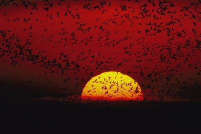 Sandhill cranes (Grus canadensis) by the hundreds fly across the sky.