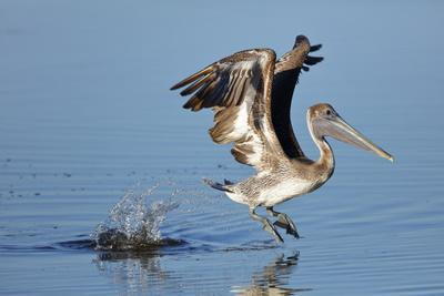 An immature Brown pelican, Pelecanus occidentalis, takes flight from the water surface.