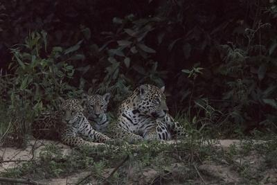 A female jaguar with cubs on a riverbank in the Pantanal of Mato Grosso Sur in Brazil.