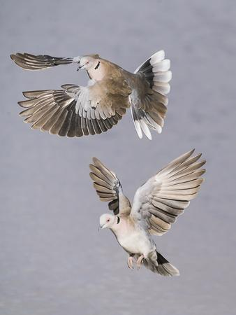 A pair of Ring-Neck Doves prepare to land.