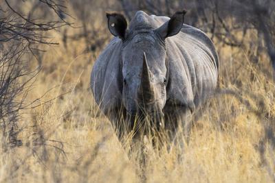 A white rhinoceros, Ceratotherium simum, looking at the camera.