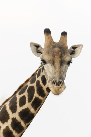 A portrait of a southern giraffe, Giraffa camelopardalis, looking at the camera.