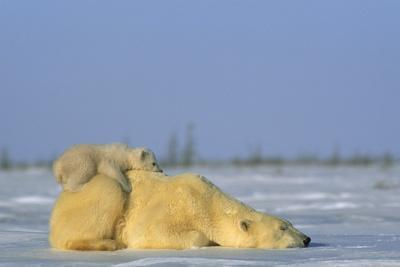 Polar bear and her cub resting on the open tundra.