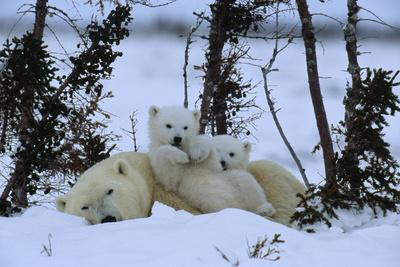 Polar bear resting while her cubs play upon her.