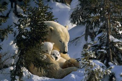 A polar bear napping with her cubs among evergreen trees.