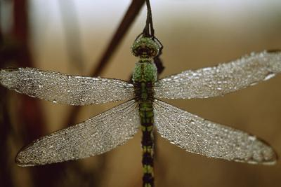 Raindrops glisten on the wings of a dragonfly in early morning.
