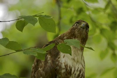 A juvenile Red-tailed Hawk, Buteo jamaicensis, peers from behind tree leaves.