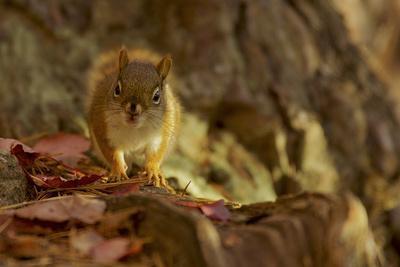 American red squirrel, Tamiasciurus hudsonicus, on the forest floor in autumn.