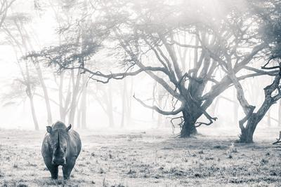 A southern white rhino stands in a mist-shrouded fever tree forest.