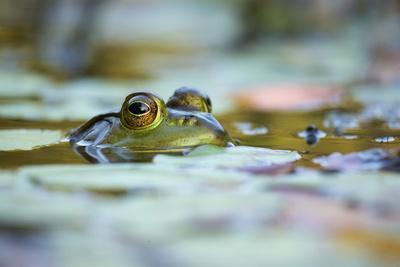 Bullfrog, Rana catesbiana, surfaces among floating plants.