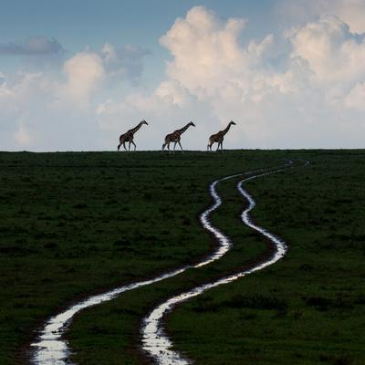 Reticulated giraffes at the end of water-filled ruts in Solio Rhino Sanctuary.