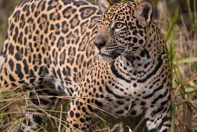 A jaguar in the Pantanal of Mato Grosso Sur in Brazil.