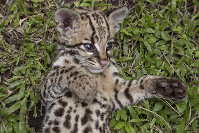 A rescued jaguar cub in Cabildo Verde, a nature reserve in Sabana de Torres, Colombia.