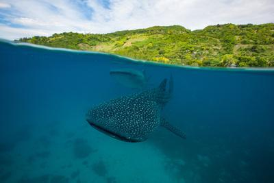 Two whale sharks swim by just below the surface.