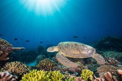 A green sea turtle swims above a coral reef.
