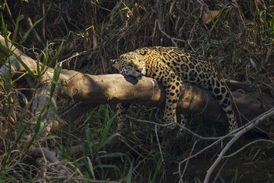 A jaguar along a riverbank in the Pantanal of Mato Grosso Sur in Brazil.