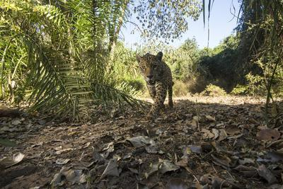 A camera trap captures a jaguar in the Pantanal of Mato Grosso Sur in Brazil.