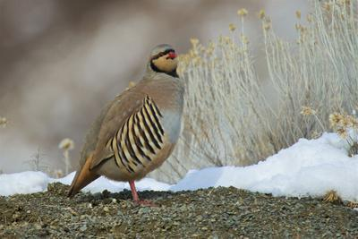 Native of southern Eurasia, the Chukar was introduced to North America as a game bird.