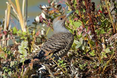 The northern flicker is a medium-sized bird of the woodpecker family.