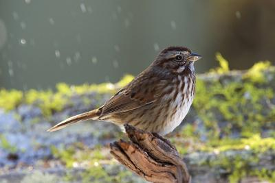 The song sparrow is a medium-sized American sparrow.