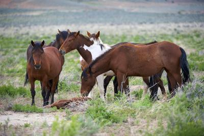 Wild or feral horses populate large areas of the Great American Desert in states such as Nevada and