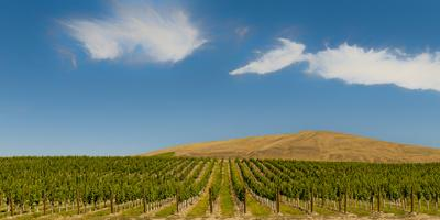 USA, Washington State, Red Mountain. Quintessence vineyard with Red Mountain in the background.