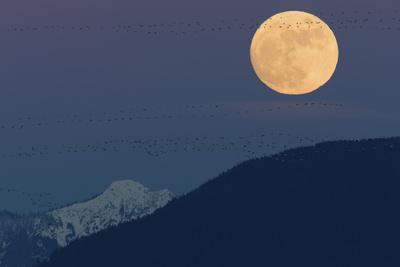 Full moon rising, migrating Snow Geese