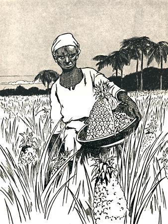 'Gathering Pineapples', 1912