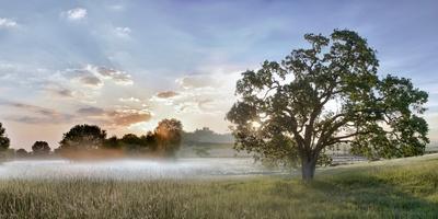 Sonoma Oak #3