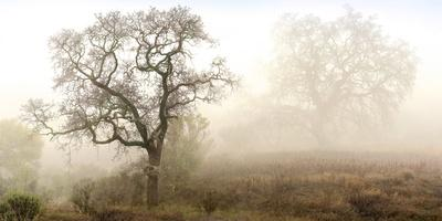 Sonoma Oak #1