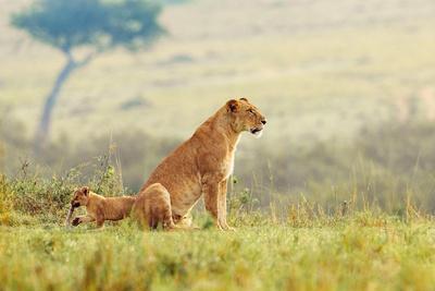 A Lion's Tail