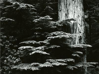 Redwood, California, 1964
