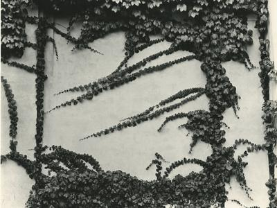 Ivy On Wall, New York, 1945